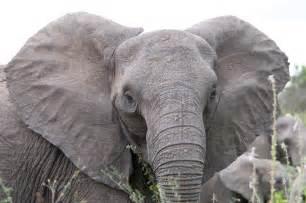 file angry elephant ears jpg wikipedia