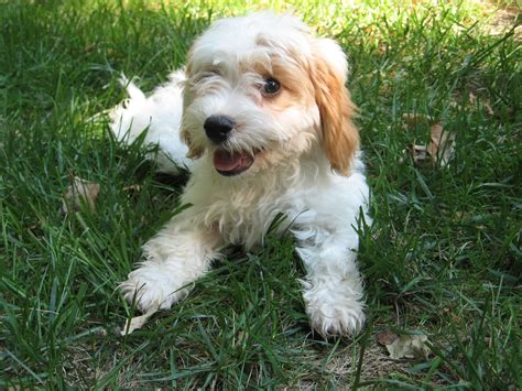 cavapoo puppies wi file image cavapoo puppy jpg wikimedia commons