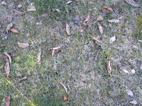 fly infestation in backyard crane fly lawn treatment myideasbedroom com