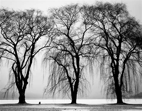 black and white tree images free stock photo of black and white branches three