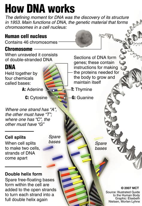 Dna Worksheets by Dna And Genetics Mrs Bursk S Science Class