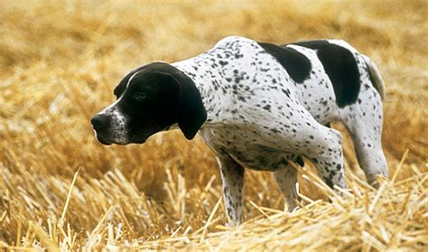 pointers dogs pointer breed information
