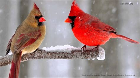 cardinal images northern cardinal song