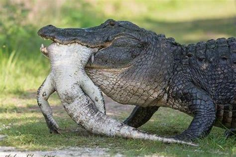 Snapped Hunters Catch And Kill 15ft 800lb Alligator Alligator Images Usseek