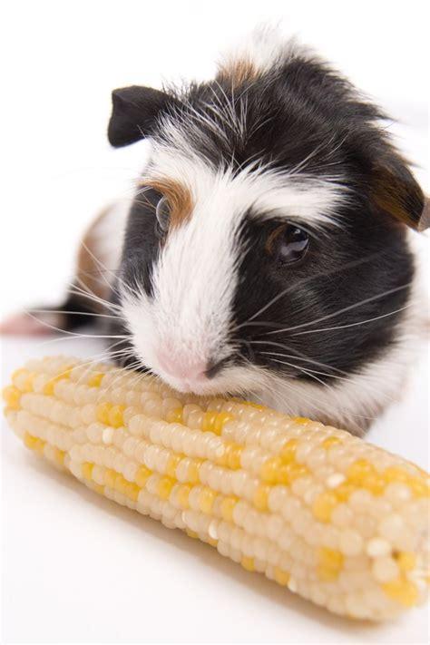 male   female guinea pig cutenesscom