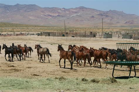blm mustang adoption requirements adopt a or burro directly from a blm holding