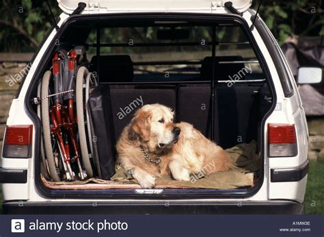 golden retriever wheelchair golden retriever sitting in boot of parked hatchback car beside stock photo