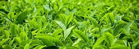 Teh Hijau Orang Kung khasiat teh hijau untuk kesehatan wedangberashitam