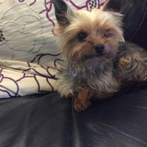 teacup yorkie for sale up to 400 teacup terrier oswestry shropshire pets4homes