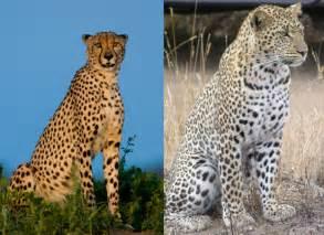 Is A Jaguar Faster Than A Cheetah Pout Curvy Hips Closet Staple Cheetah Leopard Print