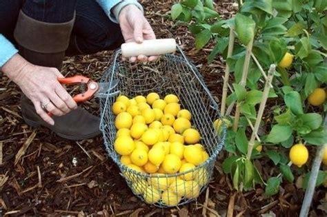 concimi per limoni in vaso concime per limoni nel frutteto concime per limoni