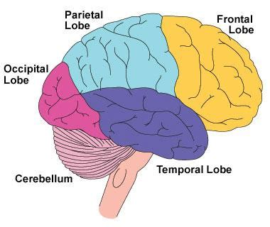 Sections Of The Brain And What They by Chapter 2 The Biological Perspective Psychology 221