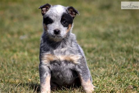 blue heeler dogs more pups hooray for heelers the and the o jays