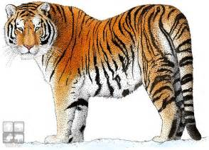 tiger colors color illustration of a siberian tiger panthera