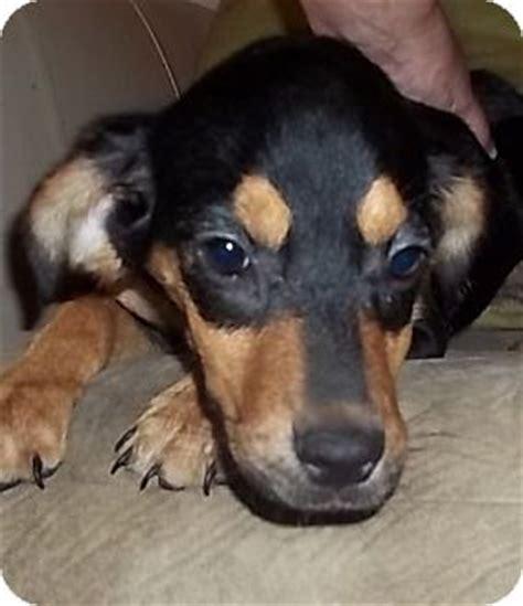 beagle rottweiler mix puppies tocara adopted puppy sh londonderry nh beagle rottweiler mix