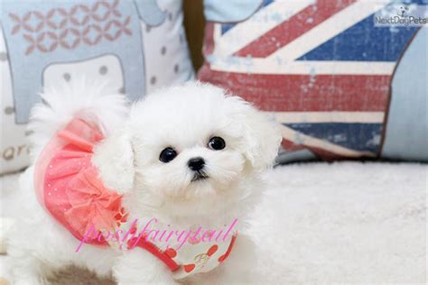 teacup bichon frise puppies for sale bichon frise puppy for sale near los angeles california afa81a5e f9f1