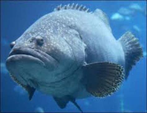 Grouper Fish Images