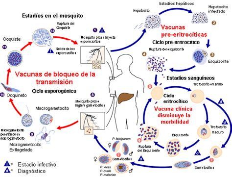 cadena epidemiologica heterologa elaboraci 243 n de vacunas biotecnolog 205 a rulla