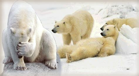 imagenes gif word search results for imagenes de osos de anteojos black
