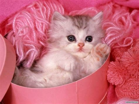 Cats Pink kitten pretty in pink cats wallpaper 36711758 fanpop