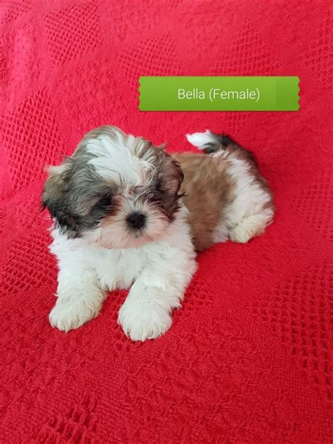 shih tzu puppies houston tx pleased shih tzu puppies for sale houston for sale houston pets dogs