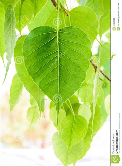 Twig Decor Bodhi Or Peepal Leaf From The Bodhi Tree S Stock Photo