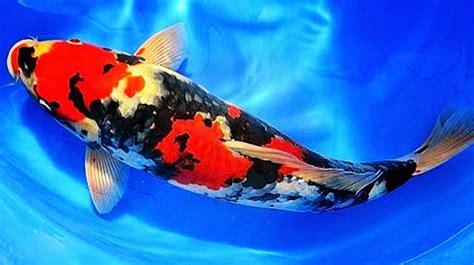 Bibit Ikan Koi Jepang jual ikan koi jumbo bercorak cantik murah
