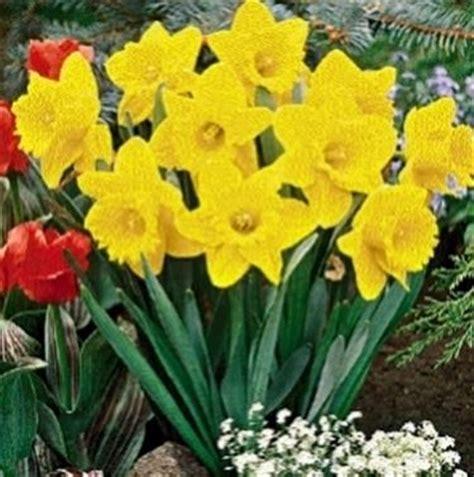 solitario dei fiori significato narciso significato dei fiori