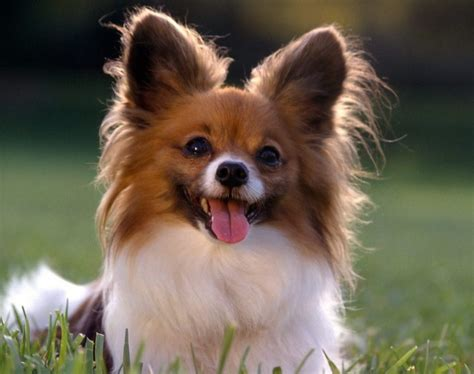 all small breeds small breeds list www pixshark images galleries with a bite