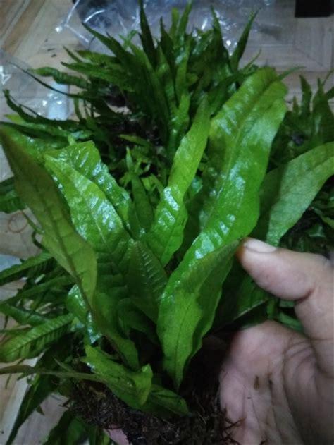jual kadaka mini tanaman air aquascape  lapak
