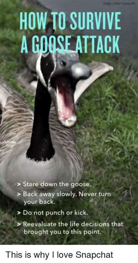 how do i my to attack how to survive a giose attack stare the goose back away slowly never turn your