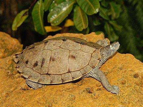 Garden Turtle by Ouachita Map Turtles For Garden Ponds For Sale From The