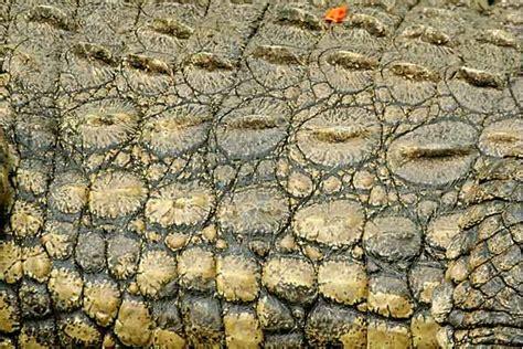 human skin texture stock photo 169 oksixx 122414784 pin crocodile skins on
