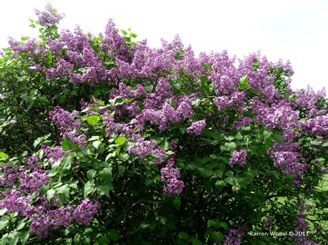 lilac tree information syringa vulgaris fuerst buelow fuerst buelow common