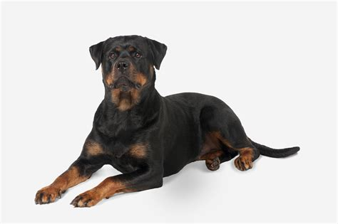 free rottweiler rottweiler breed profile