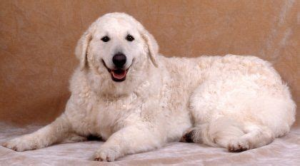 pros and cons of havanese breed 17 best images about new on best dogs puppys and great pyrenees