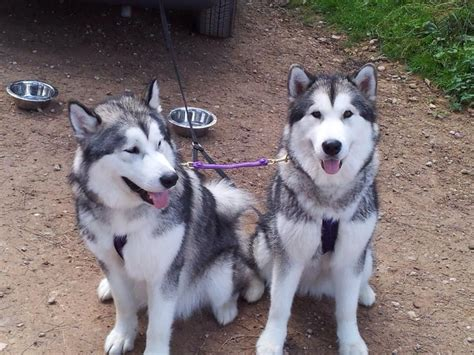 alaskan malamute puppies for adoption 2 alaskan malamutes for adoption wisbech cambridgeshire pets4homes