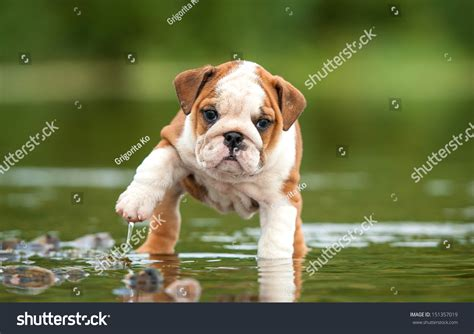 puppies in water bulldog puppy water stock photo 151357019