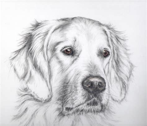 drawings of golden retrievers how to draw a golden retriever sitting www pixshark images galleries with a bite