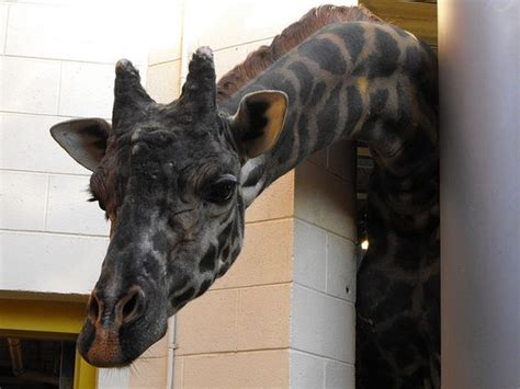 The Giraffes Cousins giraffe animales albinos y melaninos giraffes cousins and weights