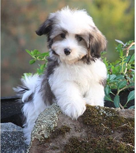 are havanese dogs hypoallergenic 85 best images about havanese and cotton de tulear on