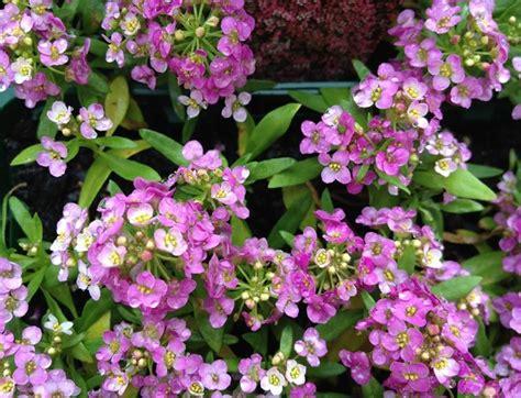 alisso fiore alisso alyssum maritima piante annuali il fiore dell