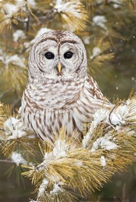 Think Cook Cook Ornamen Owl 1000 images about observant owls on owl barn
