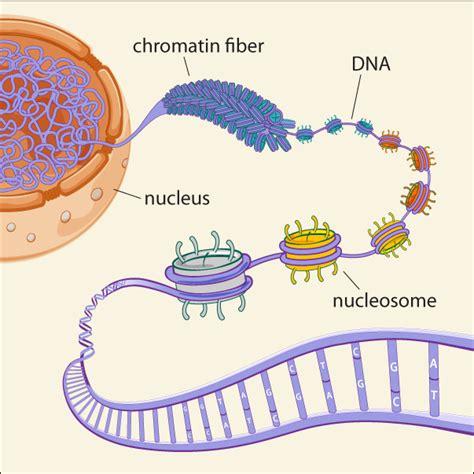 chromatin diagram dna damage repair and chromatin graham pardoe