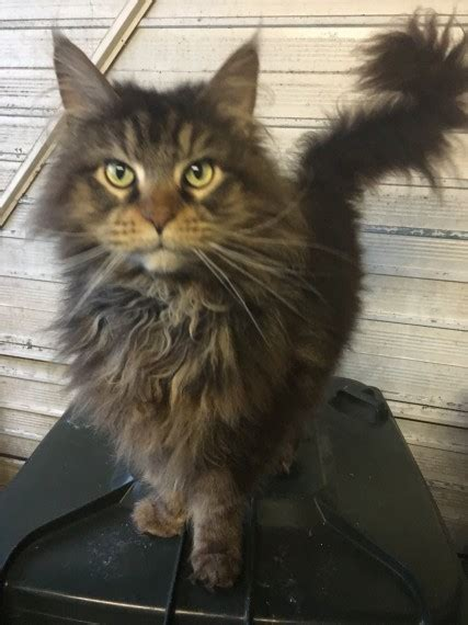 maine coon kittens bay area maine coon cats whitley bay tyne and wear pets4homes