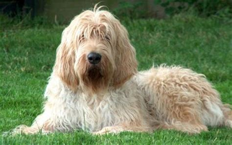 otterhound puppies otterhounds what s about em what s bad about em
