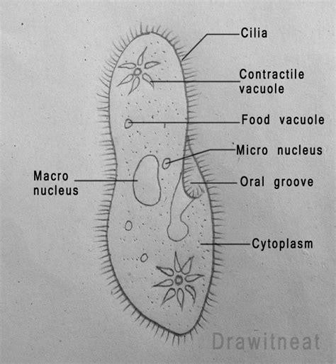 paramecium diagram draw it neat how to draw paramecium