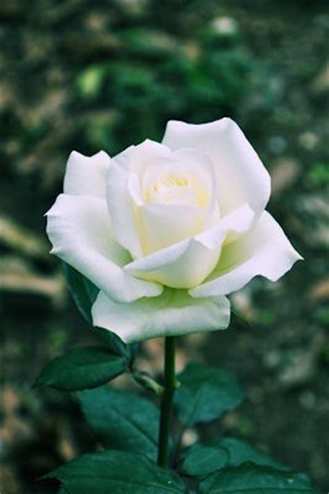 rosa blanca rose blanche hermosa rosa blanca beautiful white rose rose blanche banco de im 225 genes shared via