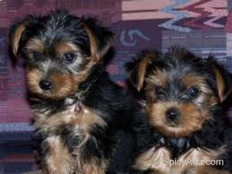 teacup yorkie dallas magnificent and teacup yorkie puppies