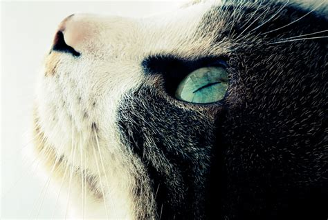 russian blue life expectancy russian blue love 2015